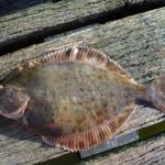Plattfischguiding